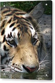 Tiger Water Acrylic Print by Greg Patzer