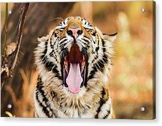 Tiger Yawn Acrylic Print by John Mckeen