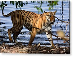 Tigress Along The Banks Acrylic Print by Fotosas Photography