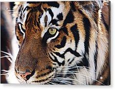 Tigress Three Acrylic Print