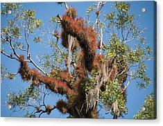 Tikal Furry Tree Closeup Acrylic Print