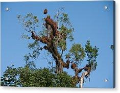 Tikal Furry Tree Acrylic Print
