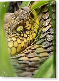 Timber Rattler In The Grass Acrylic Print
