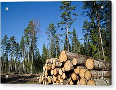 Timber Stack Of Whitewood Acrylic Print