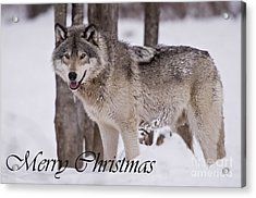 Timber Wolf Christmas Card English 3 Acrylic Print