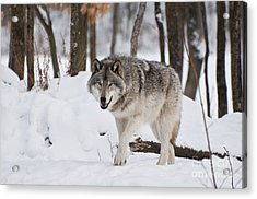 Acrylic Print featuring the photograph Timber Wolf In Winter Forest by Wolves Only