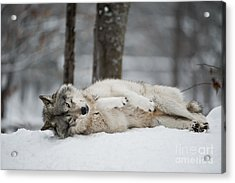Timber Wolf In Winter Acrylic Print by Wolves Only