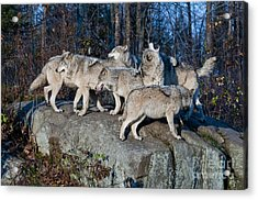 Timber Wolf Pack Acrylic Print by Wolves Only