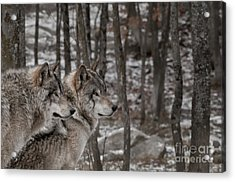 Timber Wolf Pair In Forest Acrylic Print