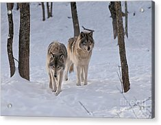 Acrylic Print featuring the photograph Timber Wolf Pair  by Wolves Only