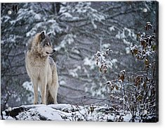 Timber Wolf Pictures 189 Acrylic Print