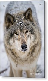 Timber Wolf Pictures 254 Acrylic Print by Wolves Only