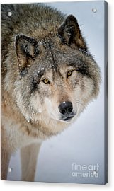 Timber Wolf Pictures 255 Acrylic Print by Wolves Only