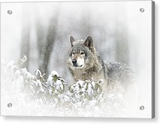 Timber Wolf Pictures 279 Acrylic Print by Wolves Only