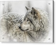 Timber Wolf Pictures 280 Acrylic Print
