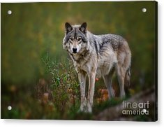 Timber Wolf Pictures 401 Acrylic Print