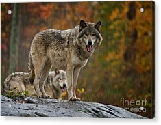Timber Wolf Pictures 410 Acrylic Print
