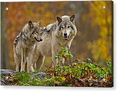 Timber Wolf Pictures 411 Acrylic Print