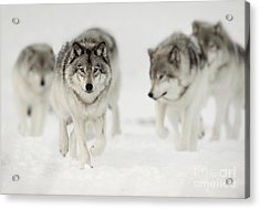 Timber Wolf Pictures 65 Acrylic Print