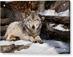 Timber Wolf Pictures 776 Acrylic Print by World Wildlife Photography