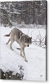 Acrylic Print featuring the photograph Timber Wolf  by Wolves Only
