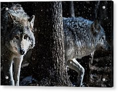 Timber Wolves In The Snow Acrylic Print