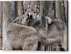 Acrylic Print featuring the photograph Timber Wolves Playing by Wolves Only