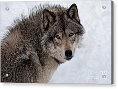 Acrylic Print featuring the photograph Timberwolf At Rest by Bianca Nadeau