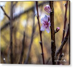 Time To Bloom Acrylic Print by Serene Maisey
