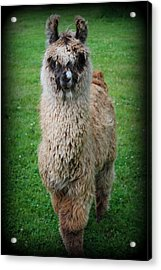 Timmy Acrylic Print by Kathy Sampson