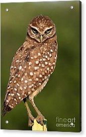 Tiny Burrowing Owl Acrylic Print by Sabrina L Ryan