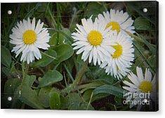 Tiny Daisies Acrylic Print by Chalet Roome-Rigdon