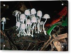 Tiny Mushrooms Acrylic Print