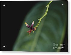 Tiny Orchid In Costa Rica Acrylic Print by Gregory G. Dimijian, M.D.