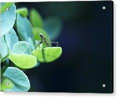 Tiny Praying Mantis On Sedum Acrylic Print by Rebecca Sherman
