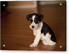 Tiny Puppy Acrylic Print by Malania Hammer