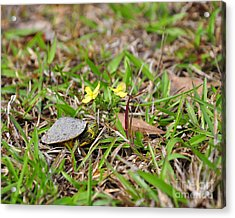 Tiny Turtle Acrylic Print by Al Powell Photography USA