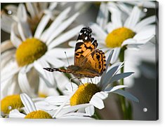Acrylic Print featuring the photograph Tip-toeing On Daisies by Greg Graham