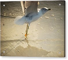 Tipy Toe Wil406 Acrylic Print by G L Sarti
