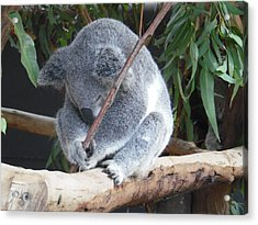 Tired Koala Bear With Stick Acrylic Print