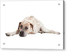 Tired Pointer Crossbreed Laying Acrylic Print