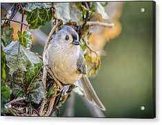 Titmouse And Ivy Acrylic Print