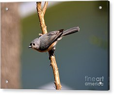 Acrylic Print featuring the photograph Titmouse by Lisa L Silva