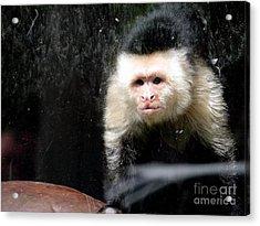 Tito In Window Acrylic Print by Ed Weidman