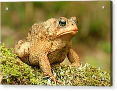 Toad Acrylic Print by John Bell
