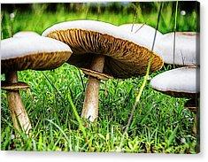 Toadstools V2 Acrylic Print by Douglas Barnard