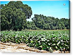 Acrylic Print featuring the photograph Tobacco Field by Linda Brown