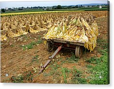 Tobacco Harvest Acrylic Print by Olivier Le Queinec