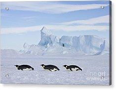 Tobogganing Emperor Penguins Acrylic Print