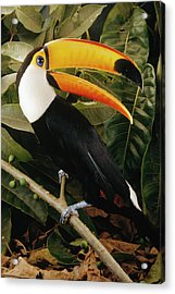 Toco Toucan Ramphastos Toco Calling Acrylic Print by Claus Meyer